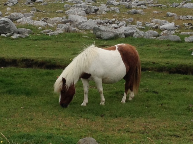 C:\Users\Virginia Rundle\Pictures\Shetland Photos\Shetland Pony.JPG